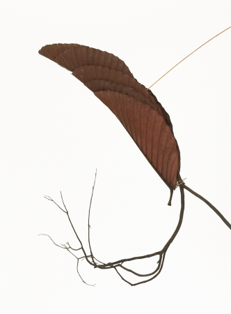 Lisa Foo, Leap, 2018, 138x52x8cm, Leaves, Twigs, Brass Wires (Details)